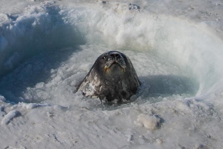 Weddell seal taking a breath