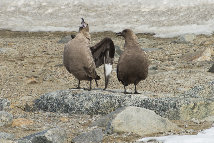 Pair of skuas in Antarctica