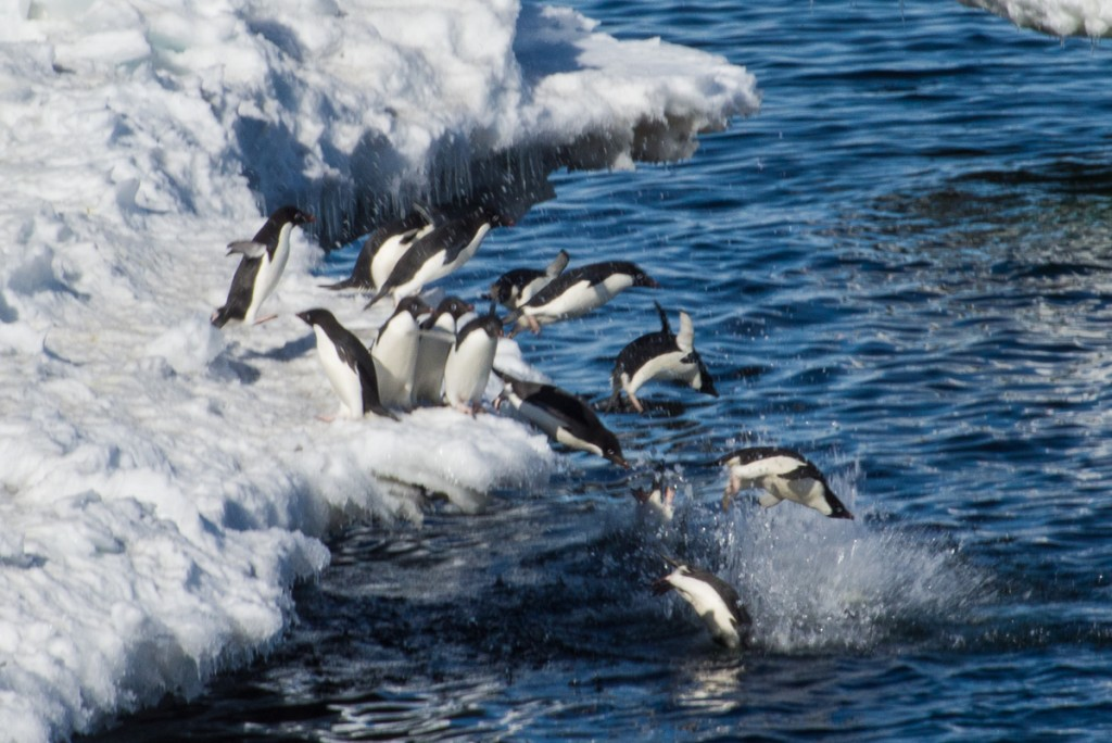 Penguins diving, Cape Royds