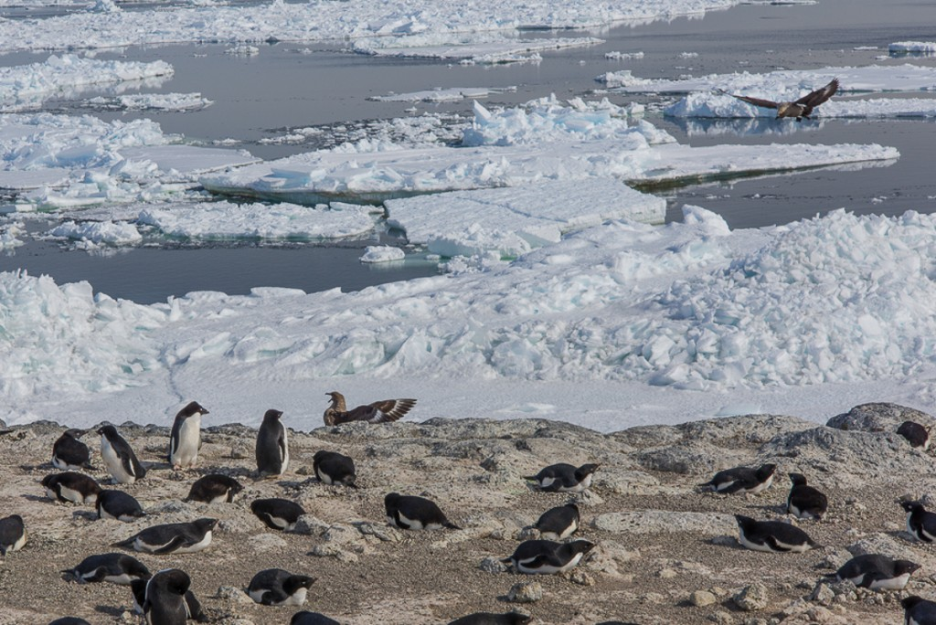 Skuas harassing penguins