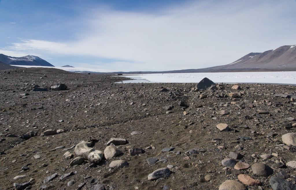 Leopard seal near Lake Fryxell