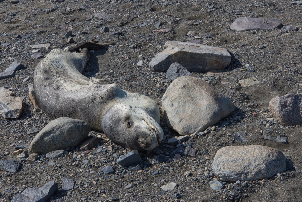 Mummified leopard seal