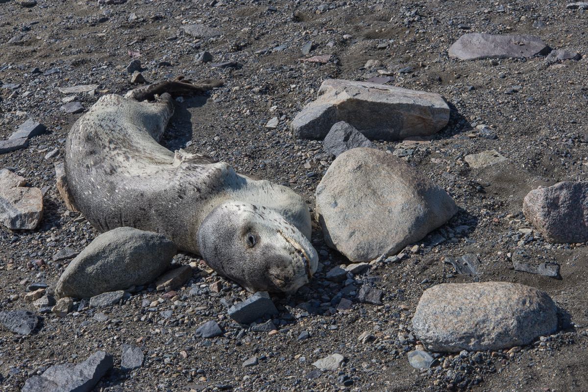 Frozen in Place: The Mystery of the Mummified Seals – Helen Glazer