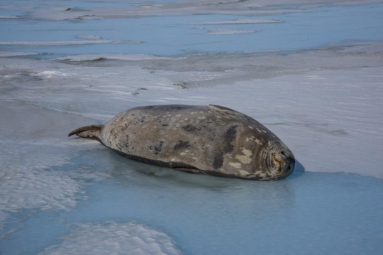 Seal on Antarctica sea ice