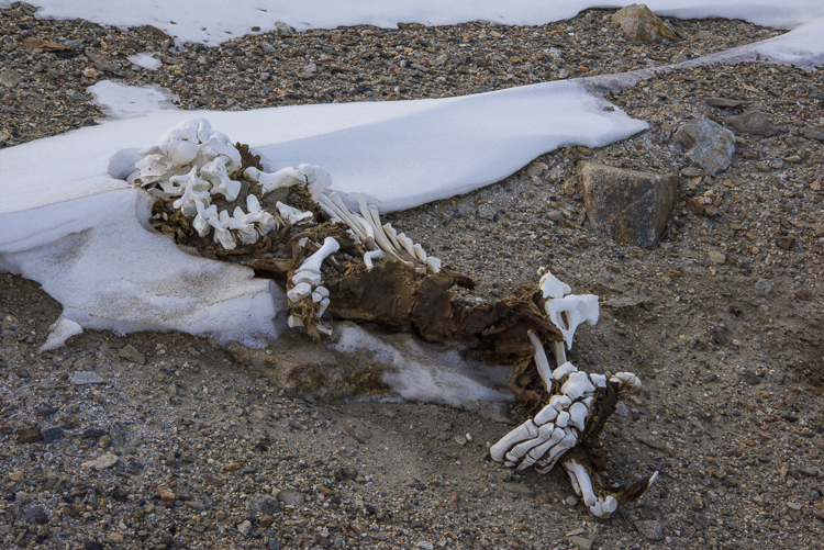 Mummified seal skeleton