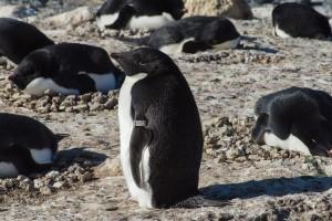 Banded Adelie penguin, Cape Royds