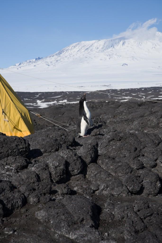 Penguin, Cape Royds campsite