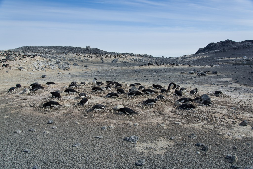 Penguin subcolony at Cape Royds