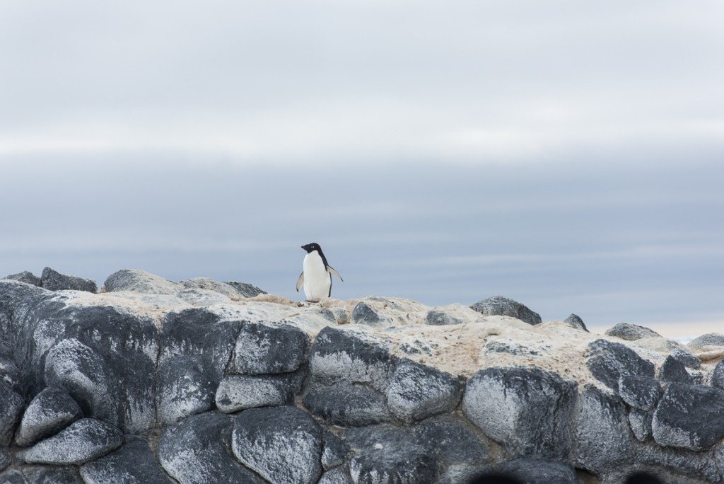 Penguin at Cape Royds