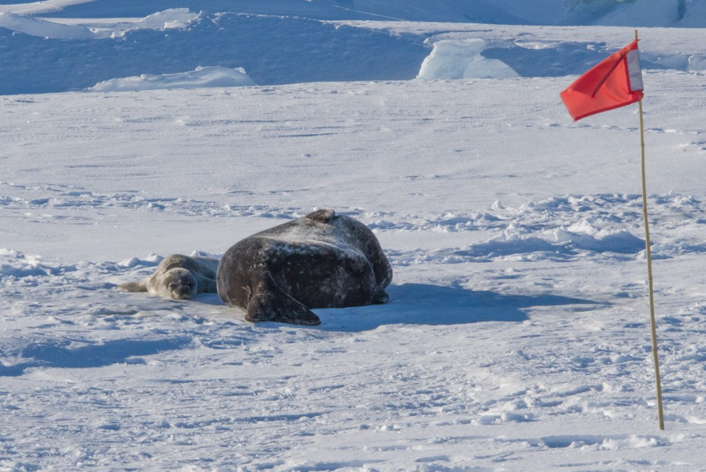 Weddell seal and pup at Scott Base pressure ridges