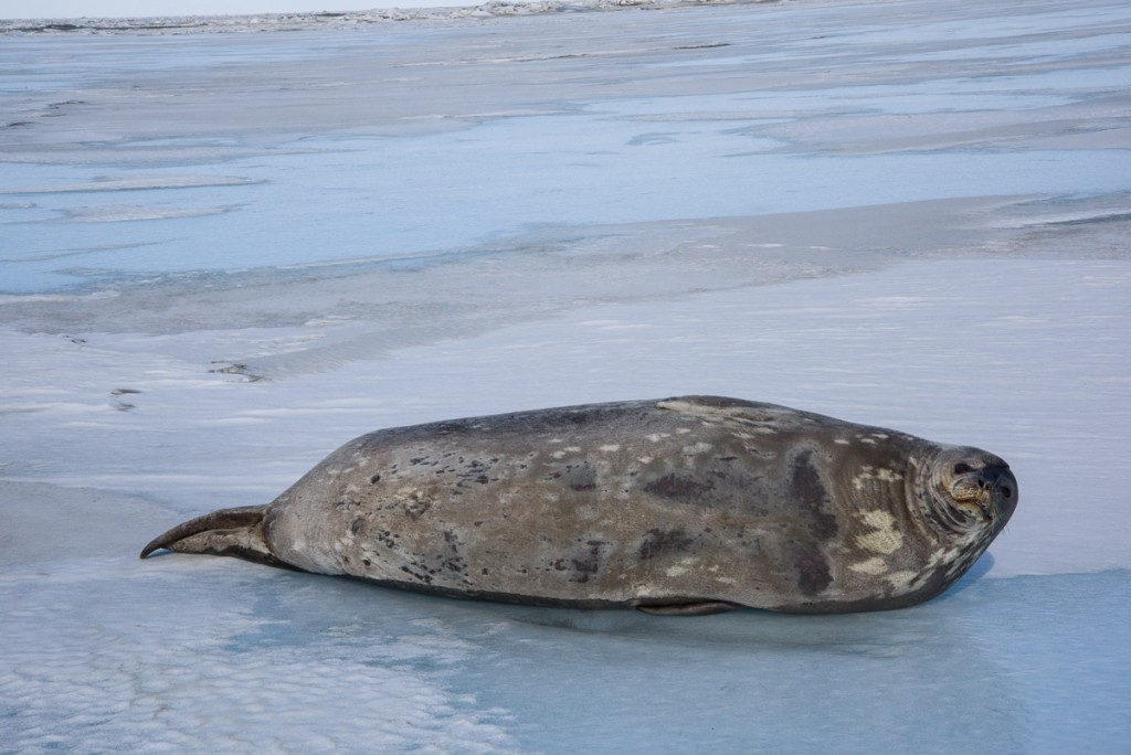 Weddell seal near Cape Bernacchi